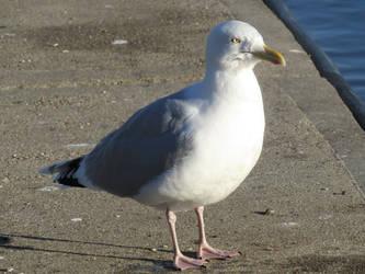 Herring gull by Sia-Mon