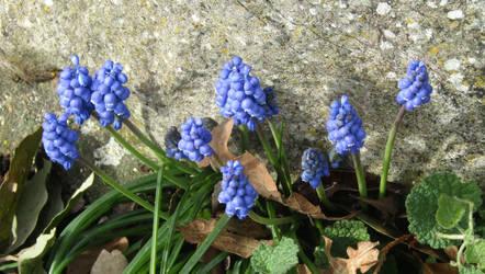 Grape hyacinth by Sia-Mon