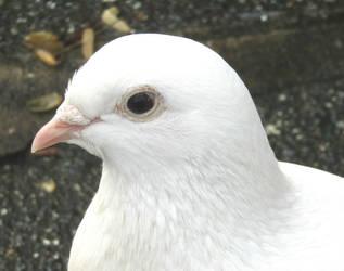 Dove portrait by Sia-Mon