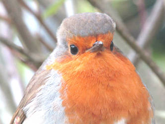 Robin portrait by Sia-Mon