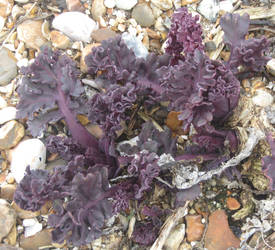 Young sea kale by Sia-Mon