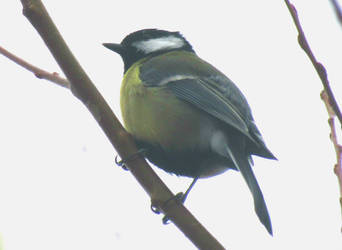 Great tit by Sia-Mon