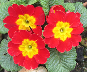 Red primroses by Sia-Mon