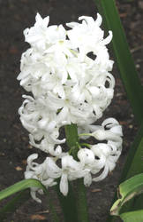 White hyacinth by Sia-Mon