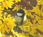 Great tit in yellow flowers by Sia-Mon