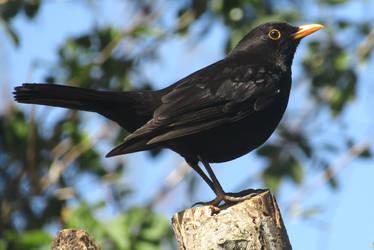 Proud blackbird by Sia-Mon