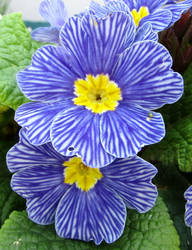 Blue stripey primroses by Sia-Mon