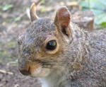 Grey squirrel portrait by Sia-Mon
