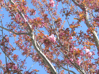 Pink tree, blue sky by Sia-Mon