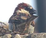Sparrow call by Sia-Mon