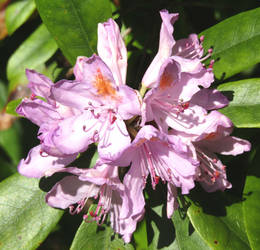Rhododendron by Sia-Mon
