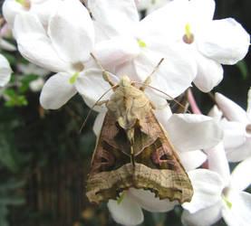 Angle Shades moth by Sia-Mon