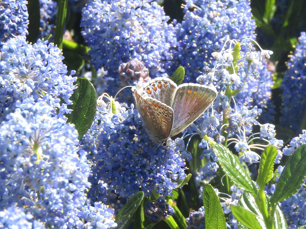 Common blue butterfly (Female)