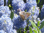 Common blue butterfly (Female) by Sia-Mon