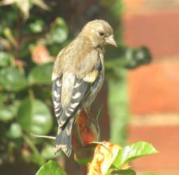 Juvenile goldfinch by Sia-Mon