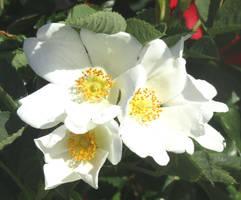 Wild rose by Sia-Mon