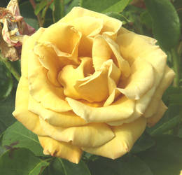 Golden rose by Sia-Mon