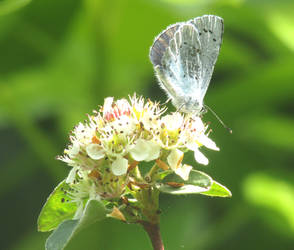 Holly blue butterfly by Sia-Mon