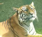 Majestic tiger by Sia-Mon
