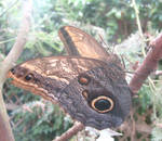 Owl butterfly by Sia-Mon