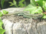Relaxing wall lizard by Sia-Mon