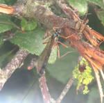 Ichneumon wasp by Sia-Mon