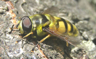Bright hoverfly