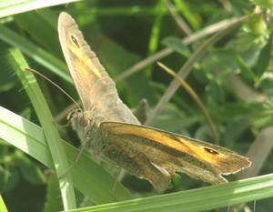Meadow brown in the grass