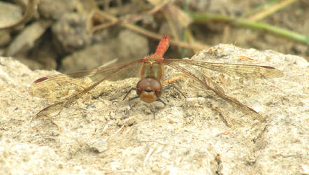 Common darter front