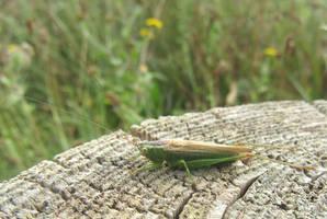 Cone head cricket