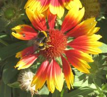 Bee on Indian Blanket flower