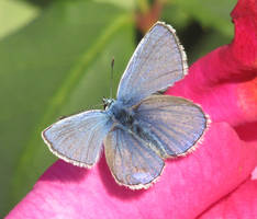 Common blue butterfly on pink rose