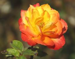 Flame coloured rose