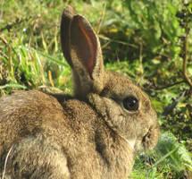 Wild rabbit portrait
