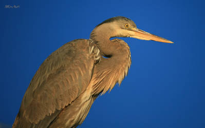 Heron by Doumanis