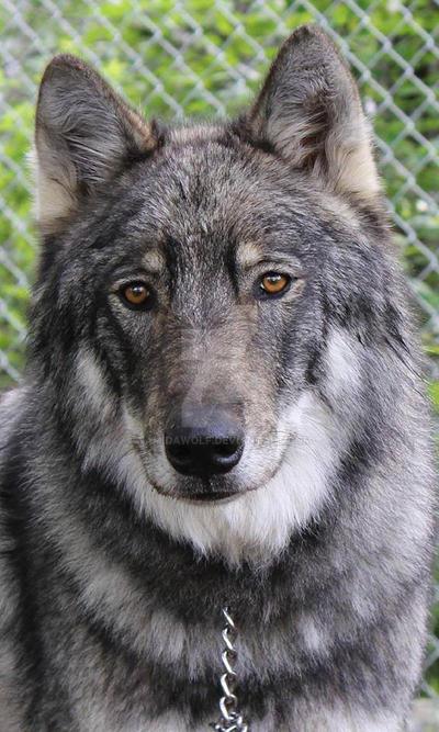 You hunted me down Like a wolf, a predator by NamidaWolf