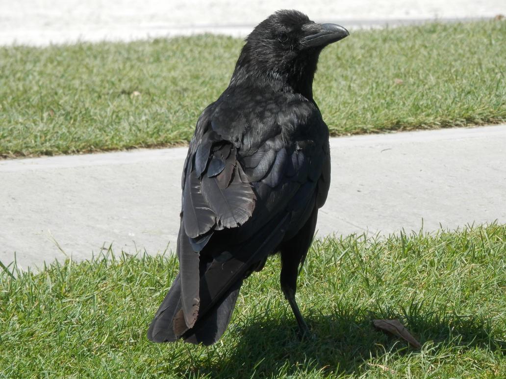 Cute raven by KingofBrindilles