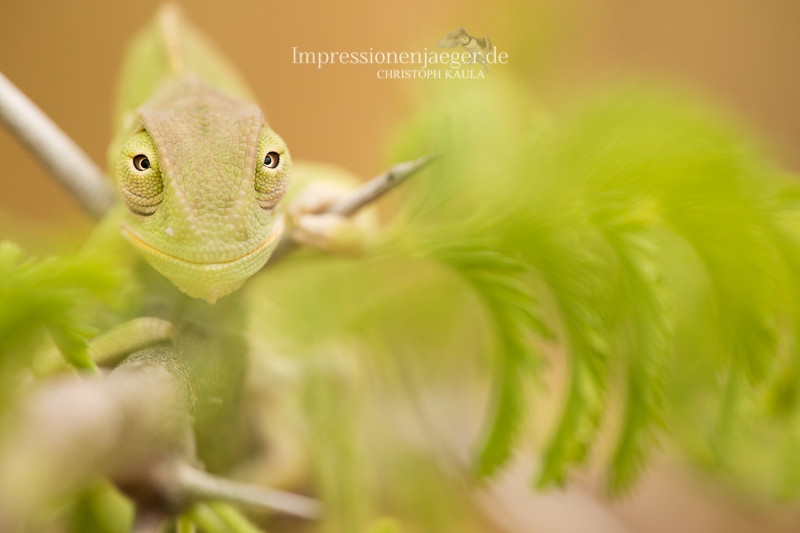 Chameleon by chriskaula