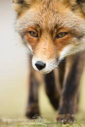 Fox by chriskaula