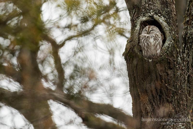 Tawny Owl by chriskaula