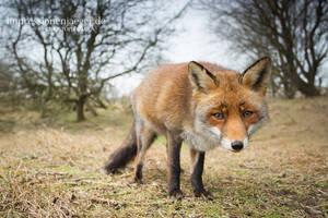 Red Fox by chriskaula