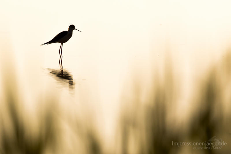 Black-winged stilt by chriskaula
