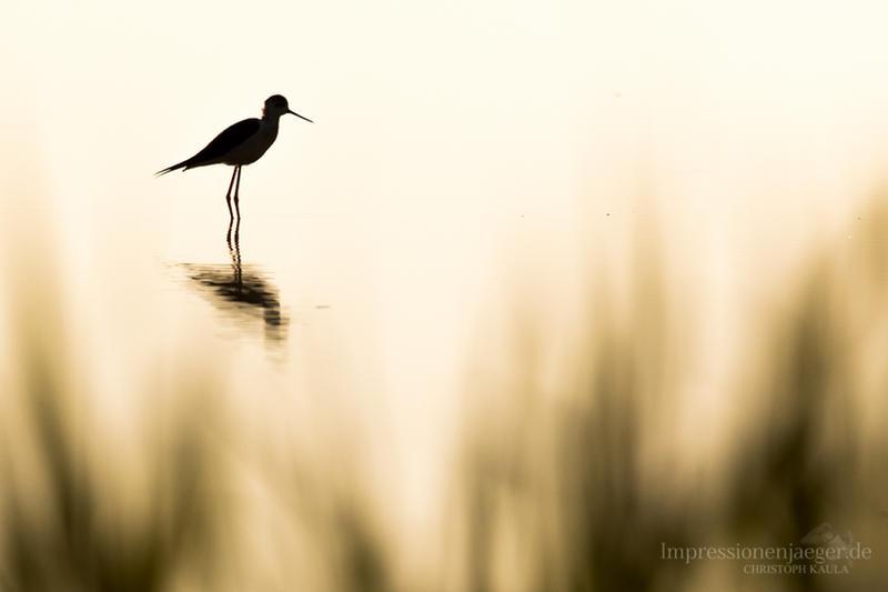 Black-winged stilt by chriskaula