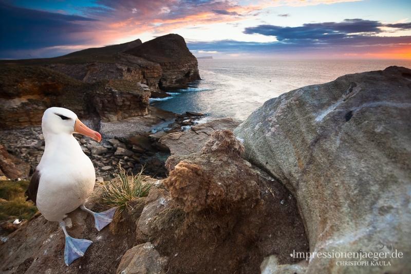 Black-browed Albatross by chriskaula