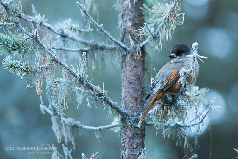 Siberian Jay by chriskaula