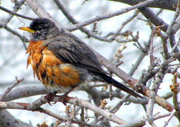 ruffled robin by chrisravensar