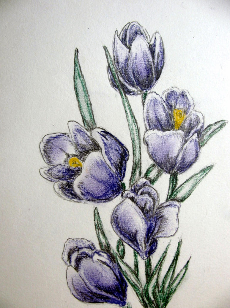 crocus by chrisravensar