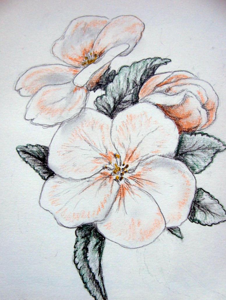 apple blossoms by chrisravensar
