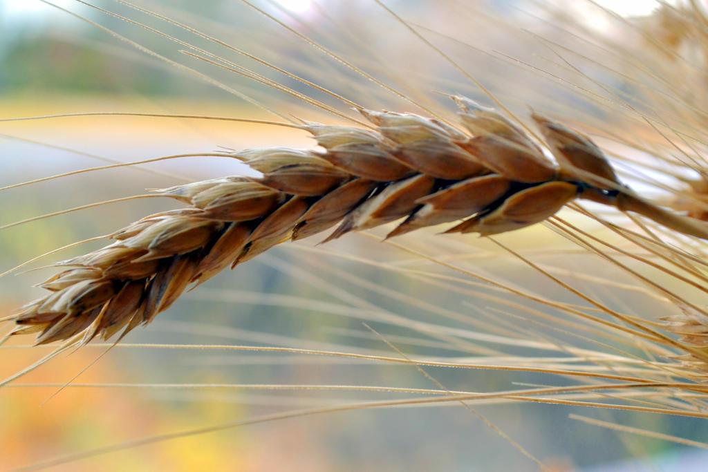 wheat by chrisravensar