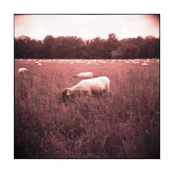 The Sheep and the Holga - No.1 by Zendar